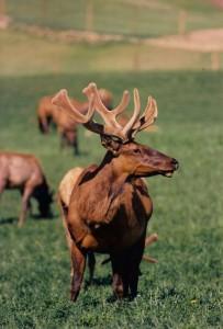 Velvet Elk Antler